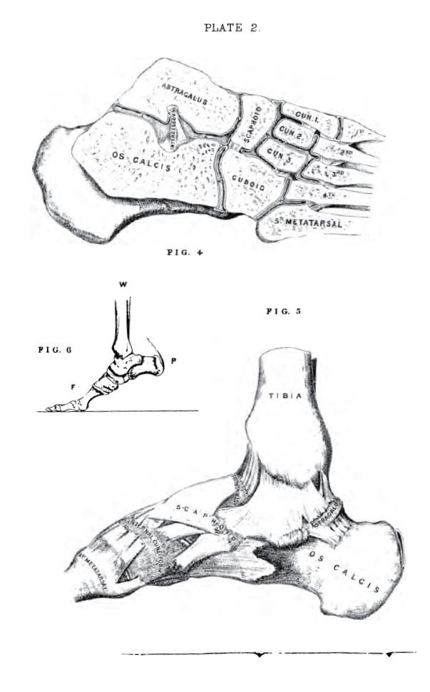 Pig Arm Diagram